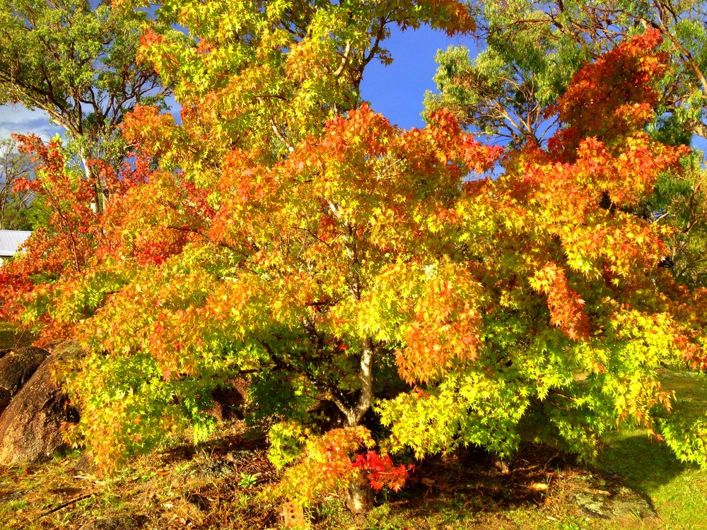 Japanese Maple Trees at Diamondvale