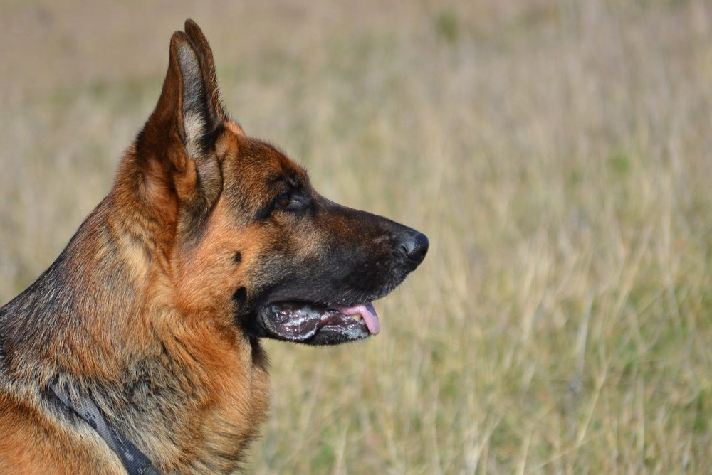 german-shepherd-405505_1920.jpg