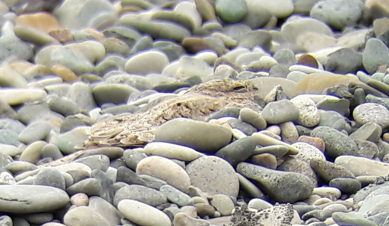 Picture of the Egyptian Nightjar on the coastal strip at Chorokhi Delta, Gonio, near Batumi  26/08/2017 © Jonas Schärer