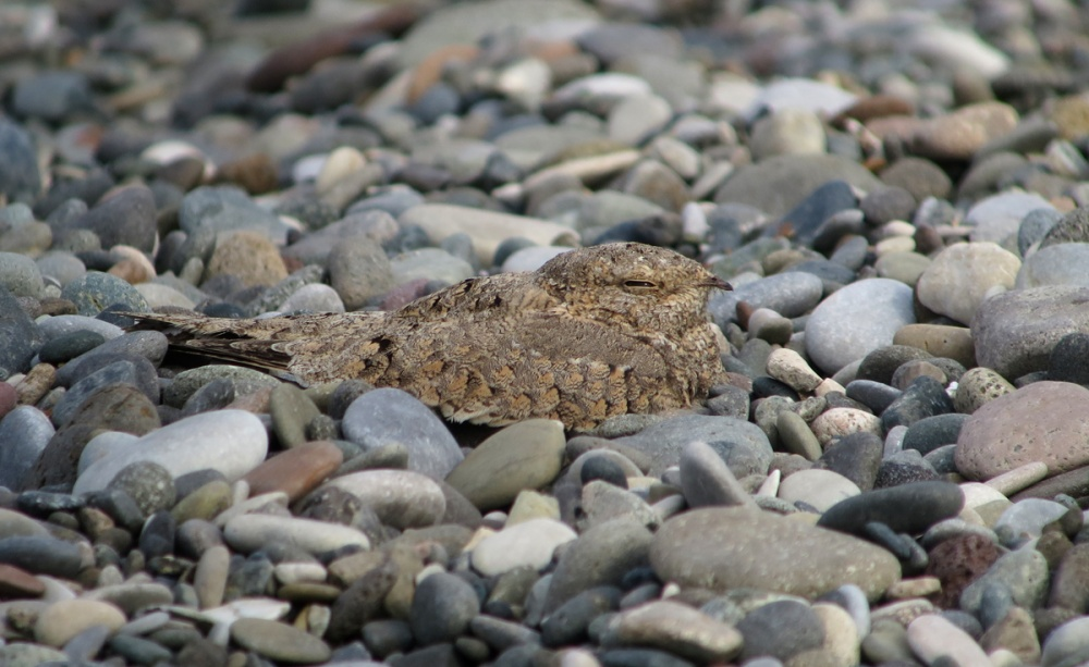 Picture of the Egyptian Nightjar, the next day, same place (Chorokhi Delta, Gonio, near Batumi)  27/08/2017 © Simon Cavailles