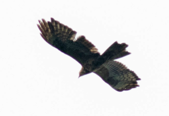 2cy Honey Buzzard, Batumi, 17th September 2017. Photo by John Wright.