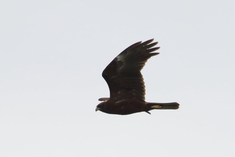 Dark morph Marsh Harrier