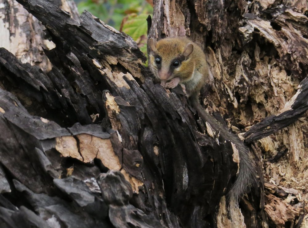 Station 2 inhabitant Forest Dormouse. Photo by John Wright.