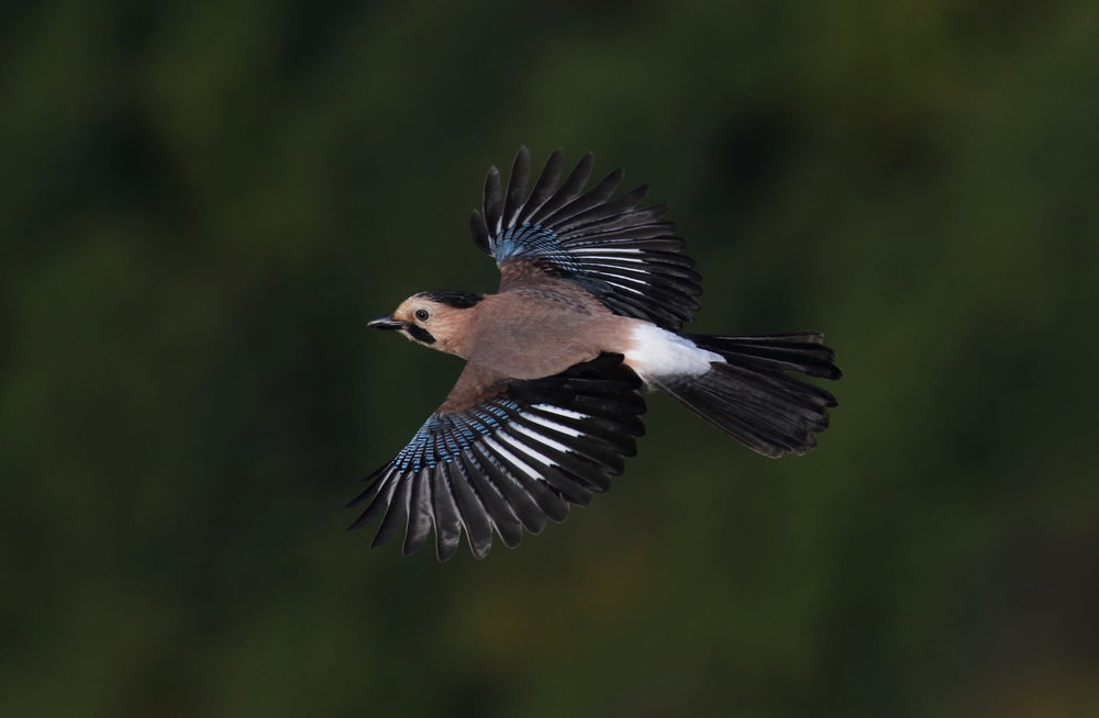 Local krynicki-ssp. Jay. Photo by John Wright.