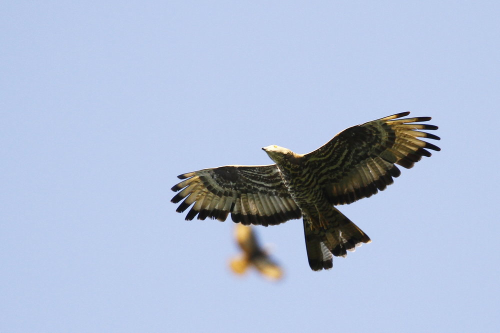 European Honey Buzzard adult male actively moulting the inner primaries. Photo by Johannes Jansen.