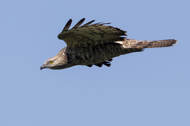 Adult female Honey Buzzard. Photo by Eddy Vaes.