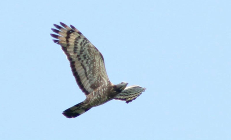 Adult male Crested Honey-Buzzard. Photo by Simon Cavaillès.