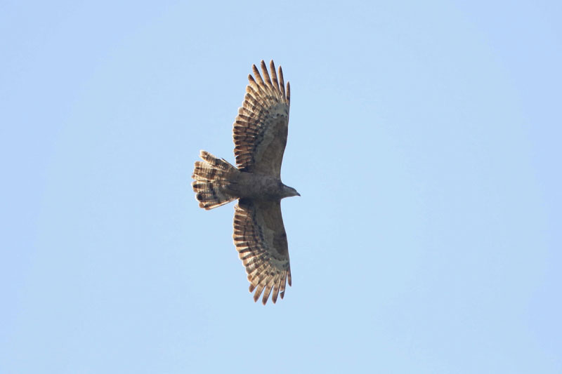 Adult female Crested Honey Buzzard 17 Sep. Photo by Jan Lontkowski.