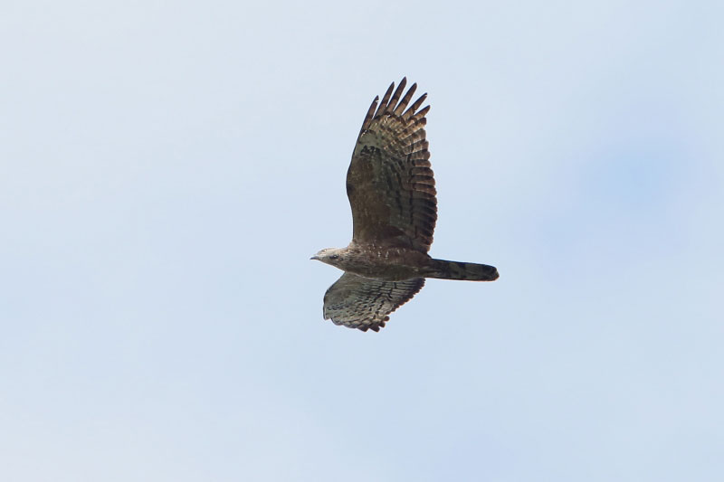 Adult female Crested Honey Buzzard 18 Sep. Photo by Jan Lontkowski.