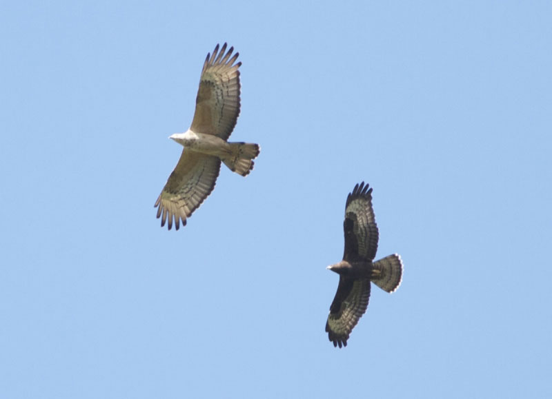 Adult female Crested Honey Buzzard with juvenile Honey Buzzard. Photo by Dieter Colombier.