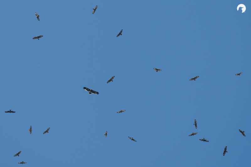 Impressive flocks of Steppe Buzzard, with a juvenile Steppe Eagle in the middle. Photo by David 'Billy' Herman.