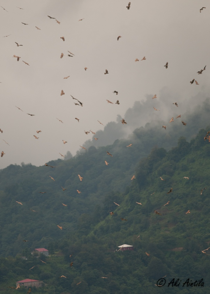 Massive migration of Honey Buzzards. Photo by Aki Aintila.