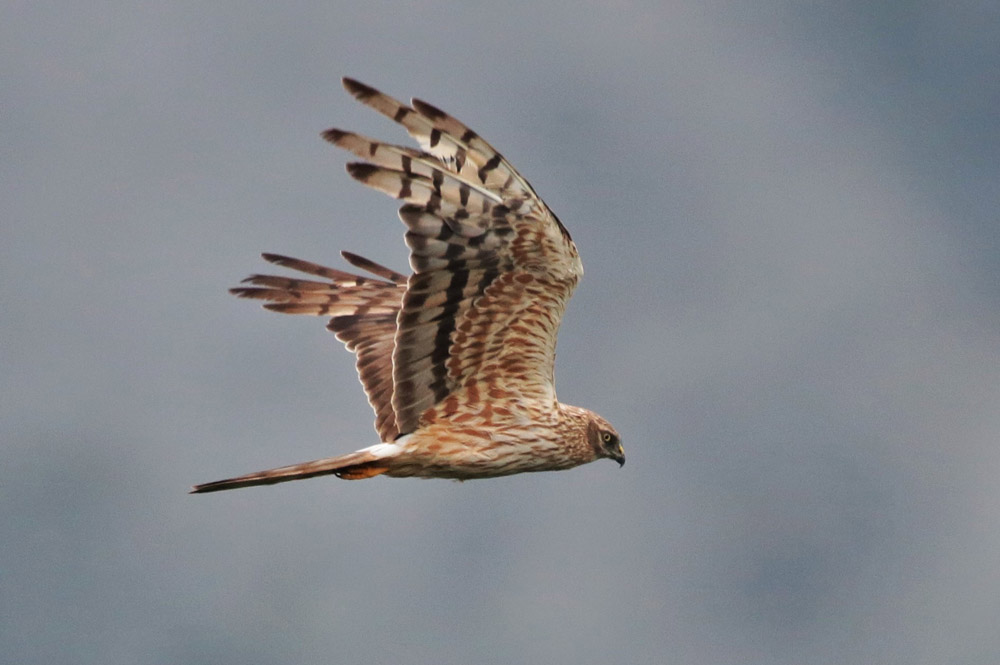 Montagu's Harrier. Photo by Bjorn Alards.
