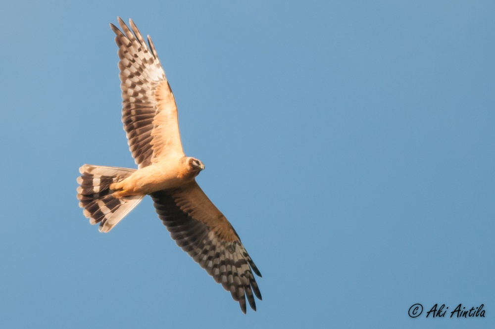 Pallid Harrier. Photo by Aki Aintila.