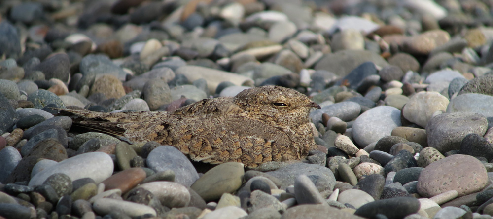Egyptian Nightjar. Photo by Simon Cavaillès.