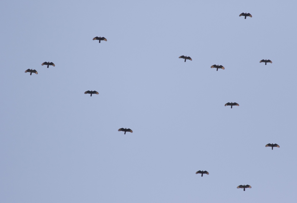 Steady stream of Honey Buzzards overhead. Photo by John Wright.