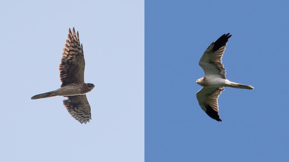 Immature Pallid female (left) and immature Pallid male (right). Photos by Frits Hoogeveen (left) and Bart Hoekstra (right).