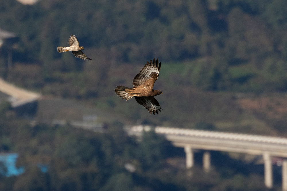 Sparrowhawk migration is still going strong and often results in bigger raptors being harassed when on migration, like this juvenile Honey Buzzard. Photo by Bart Hoekstra.