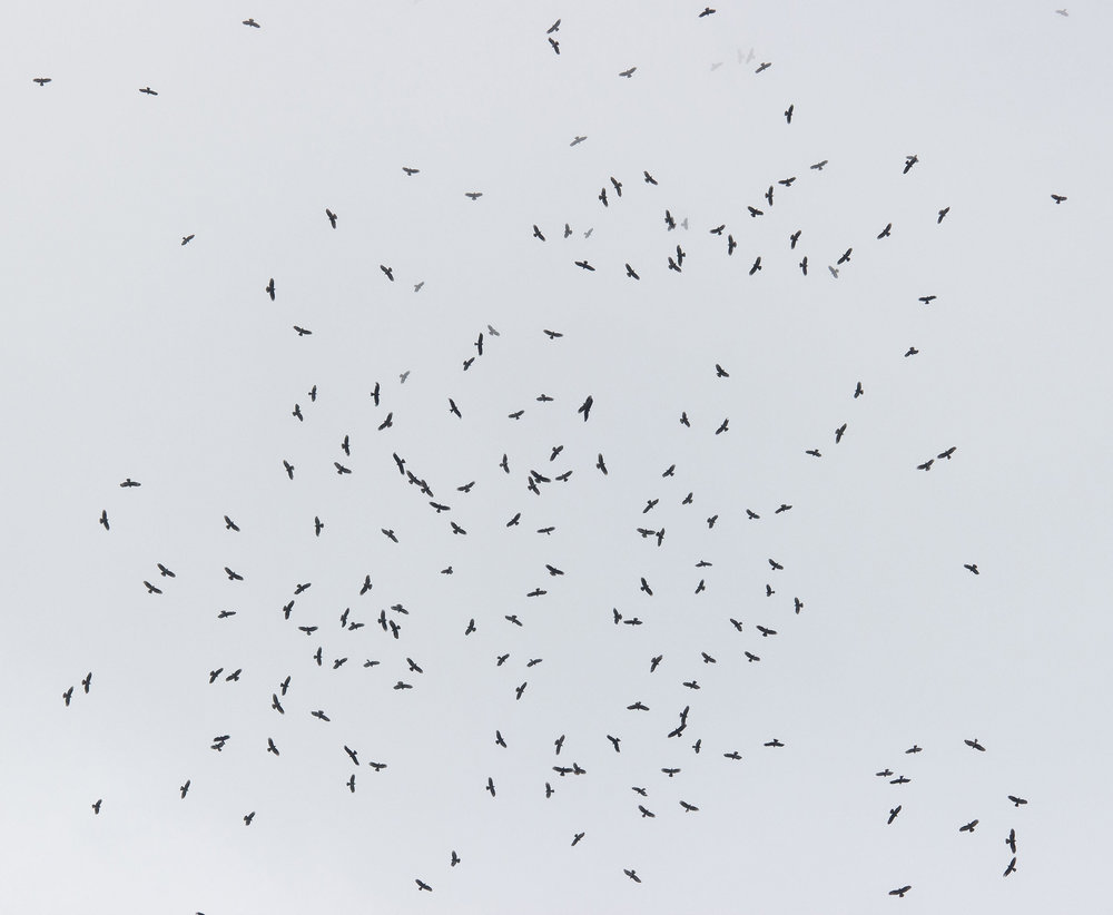A massive kettle of Honey Buzzards and Black Kites. Photo by Tohar Tal.