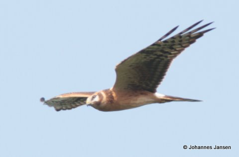A young Pallid Harrier - Circus macrourus - showing the clear 'boa' at the neck and the diagnostic wing pattern