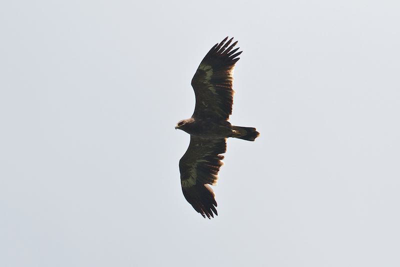 Steppe Eagles - Aquila nipalensis - like this immature bird are always an impressive sight - Photo by Freek Verdonckt