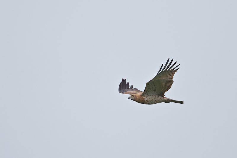 Short-toed Eagle - always fun! Photo by Freek Verdonckt.