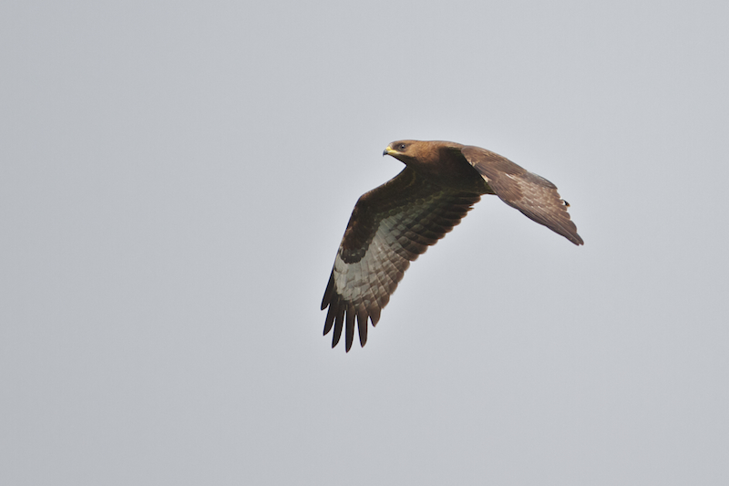 One  of the last Honey-buzzards. Juveniles typically migrate later than adults. Photo by Freek Verdonckt.
