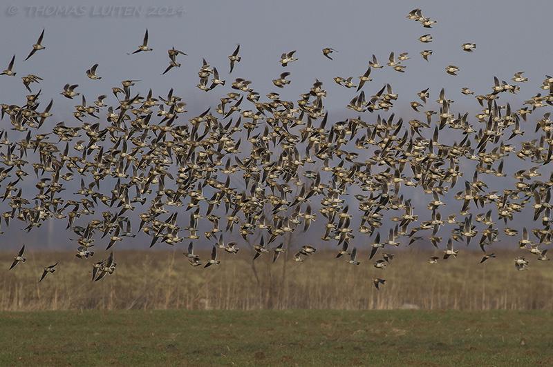 One of many flocks of Calandra larks in the area (Thomas Luiten)