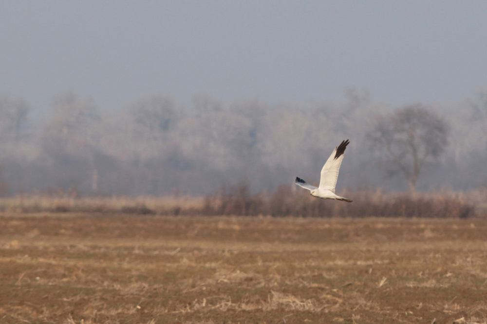 The only Pallid Harrier of the trip (Quentin Dubost).