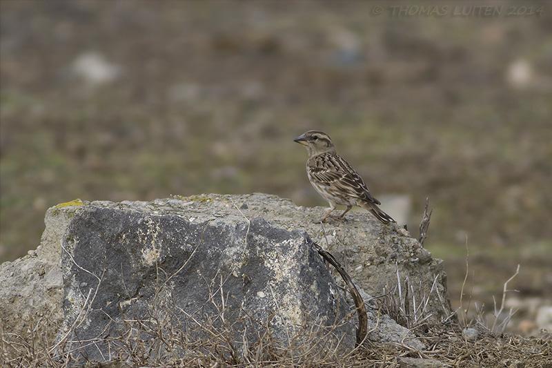 Rock Sparrow (Thomas Luiten)
