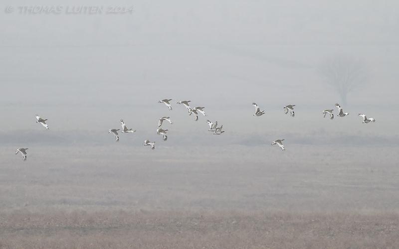 Small flocks of little bustards were present in the Alazani Valley (Thomas Luiten)