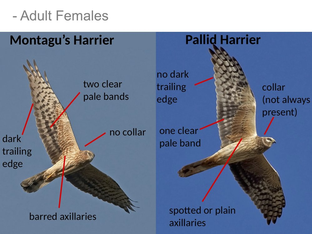 Figure 3.  Ageing of female Harriers can be challenging and distant birds can be hard to distinguish from juvenile birds under poor visibility. Thus, we record birds as female colored, when they appear to be either in juvenile or female plumage.