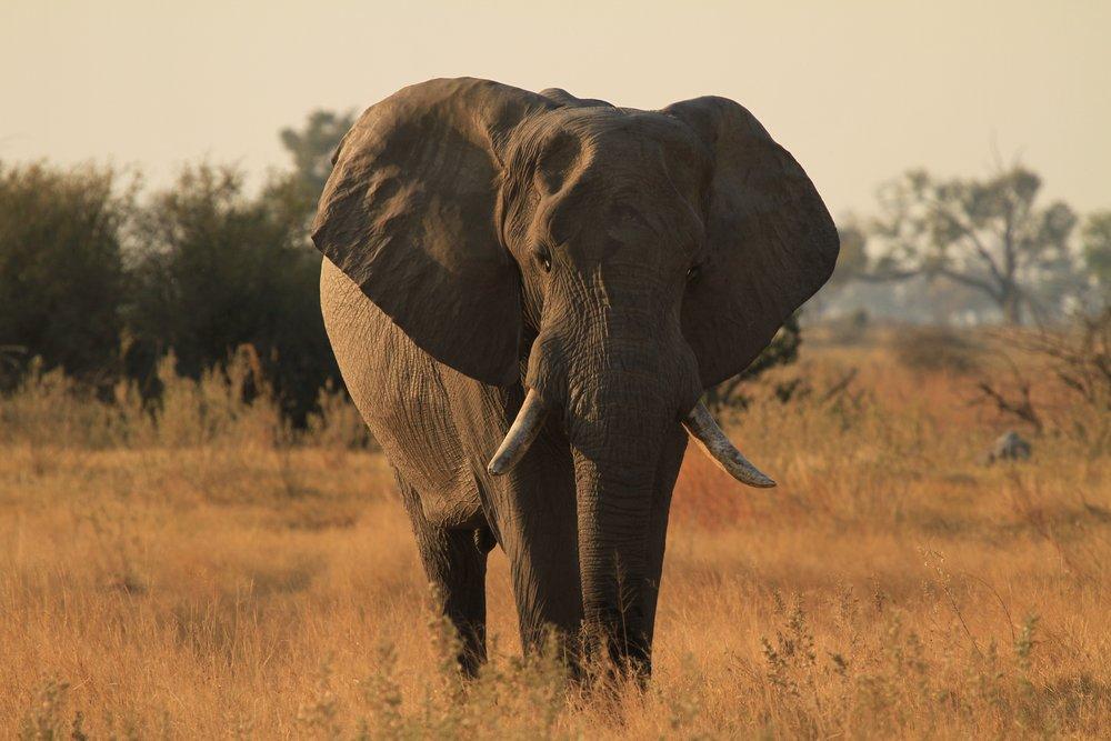 Elephant - Zambia - JGS.jpg