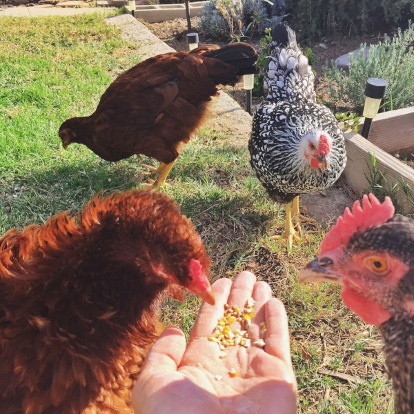 my chicken ladies roam the yard, eat bugs & grass, and organic feed