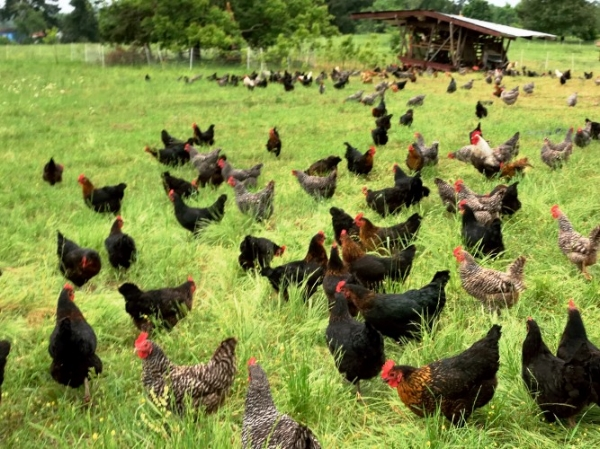 Pasture Raised Hens - Image Via  Shady Grove Ranch