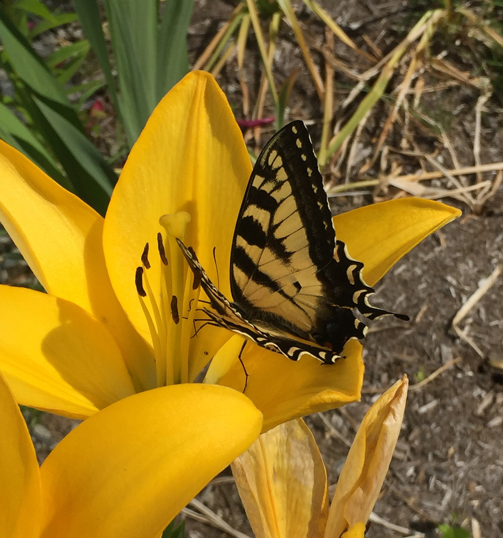 This Eastern Tiger Swallowtail (if I have misidentified, please  let me know ) is a new addition to our pollinators.  We have seen the diversity and number of pollinators increase quickly over our first two years.