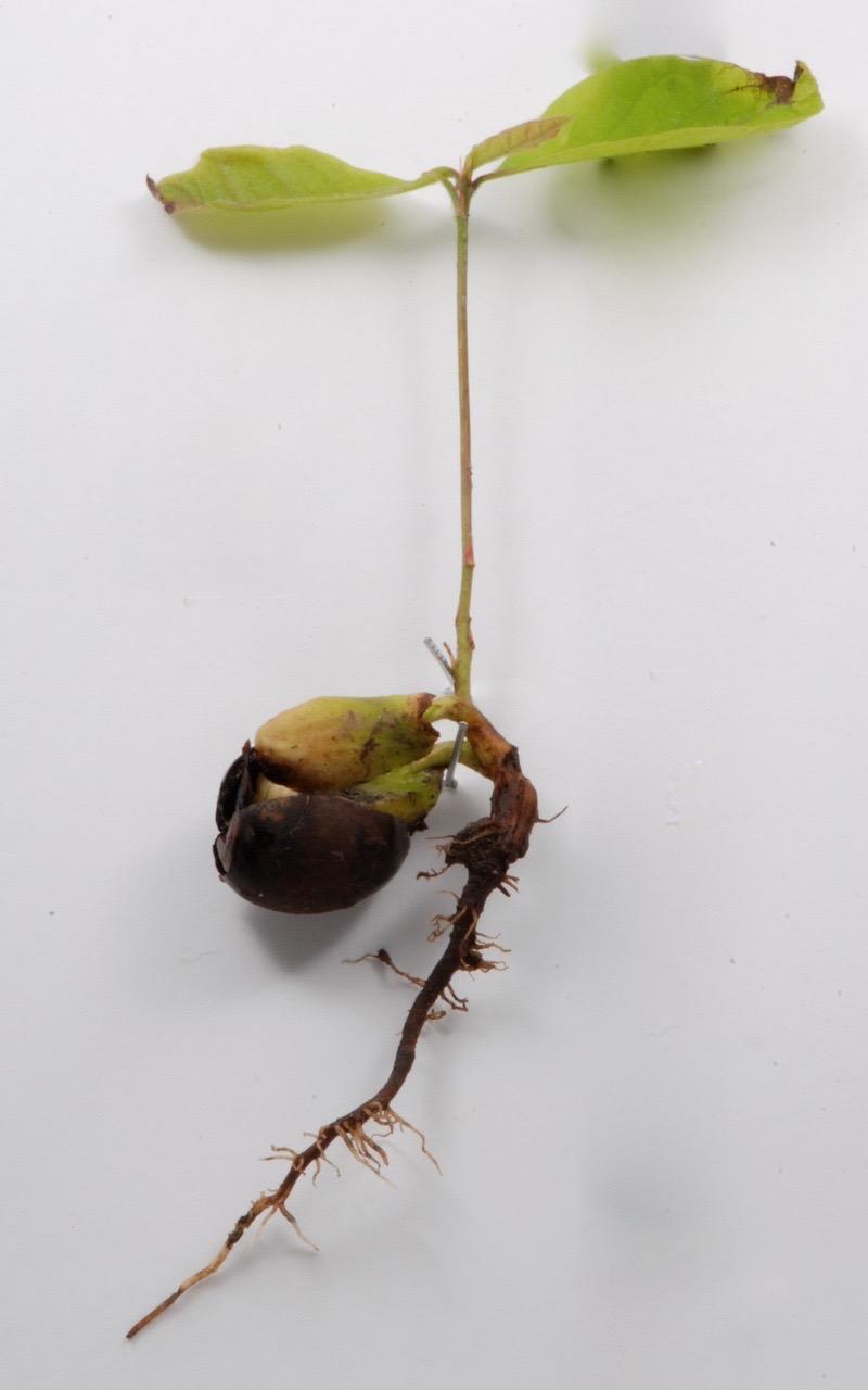 white-oak-seedling-10-1