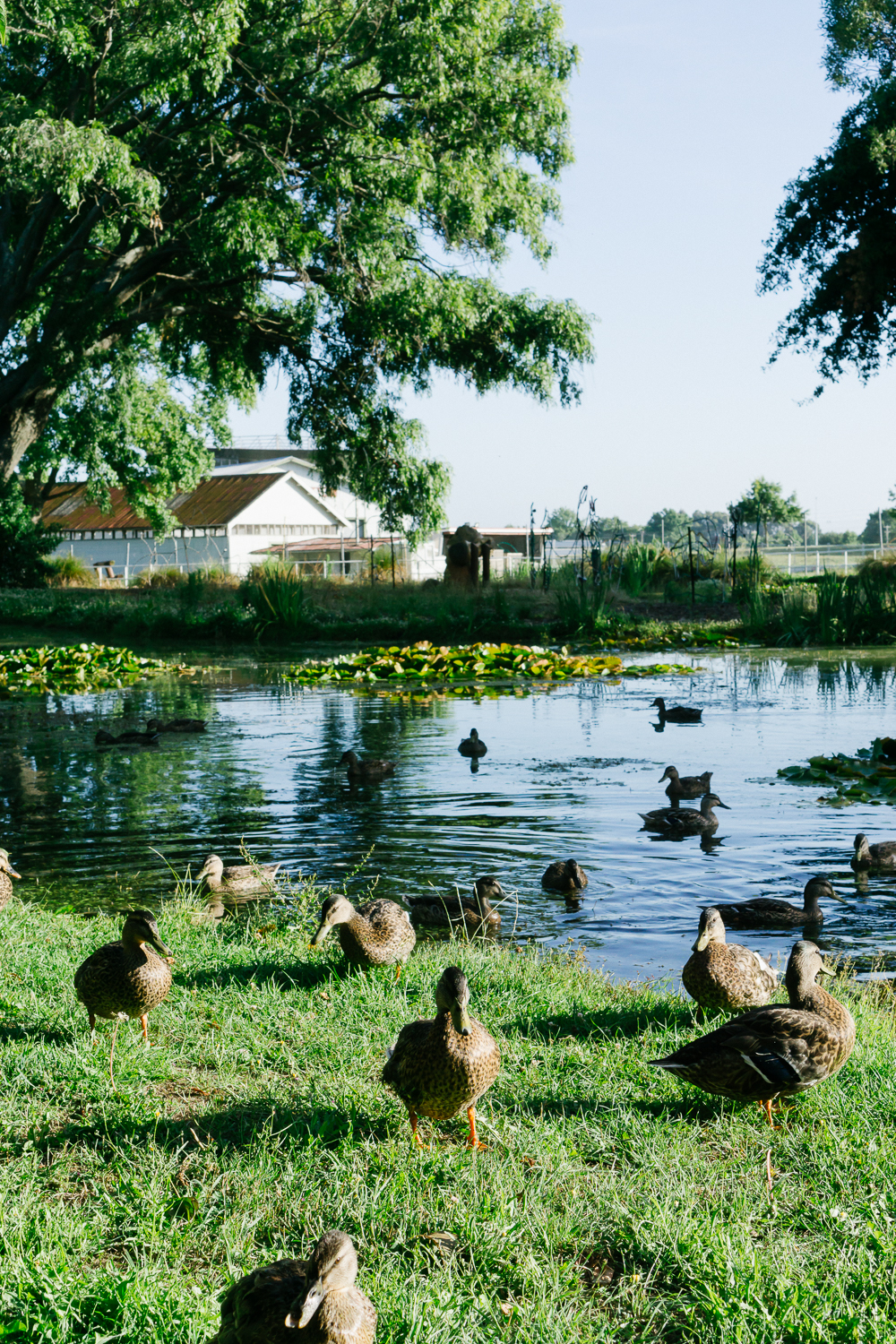 Ducks in Napier.jpg