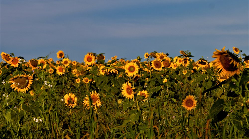 4. Field of sunflowers.jpg
