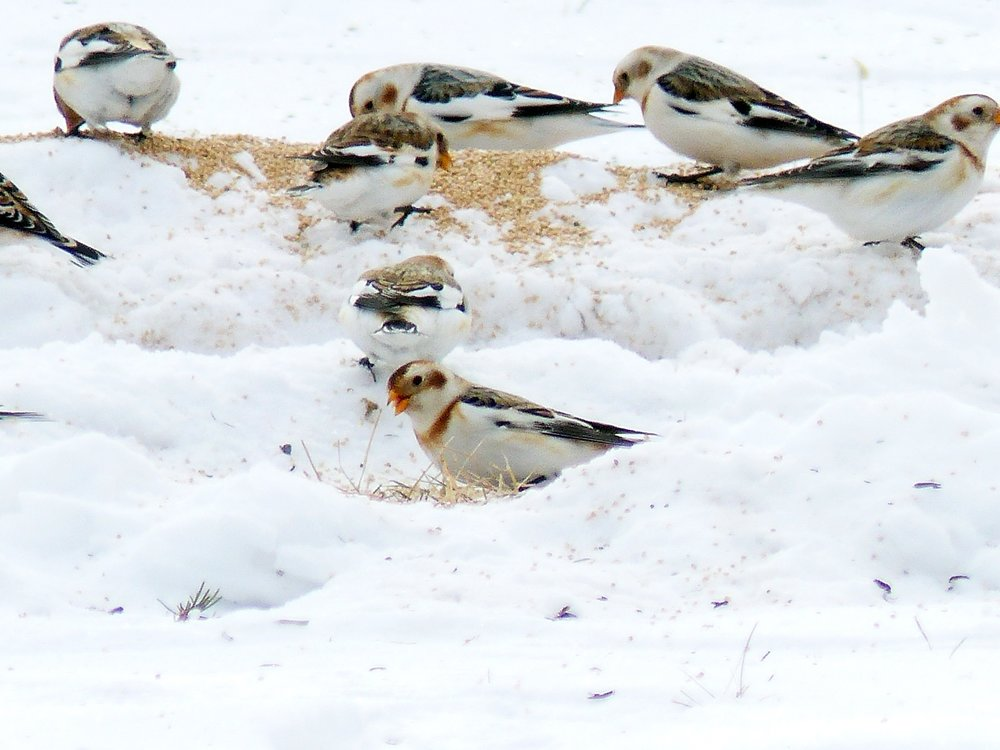 Susan Blaney - Snow Buntings 2.JPG