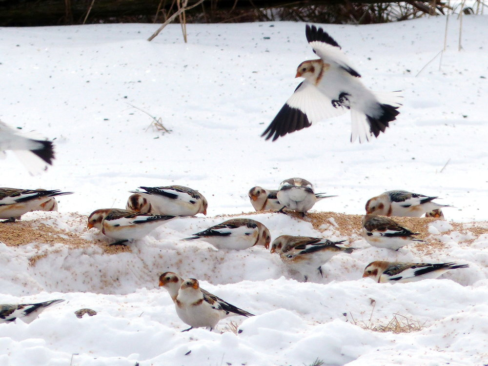 Susan Blaney - Snow Buntings 1.JPG