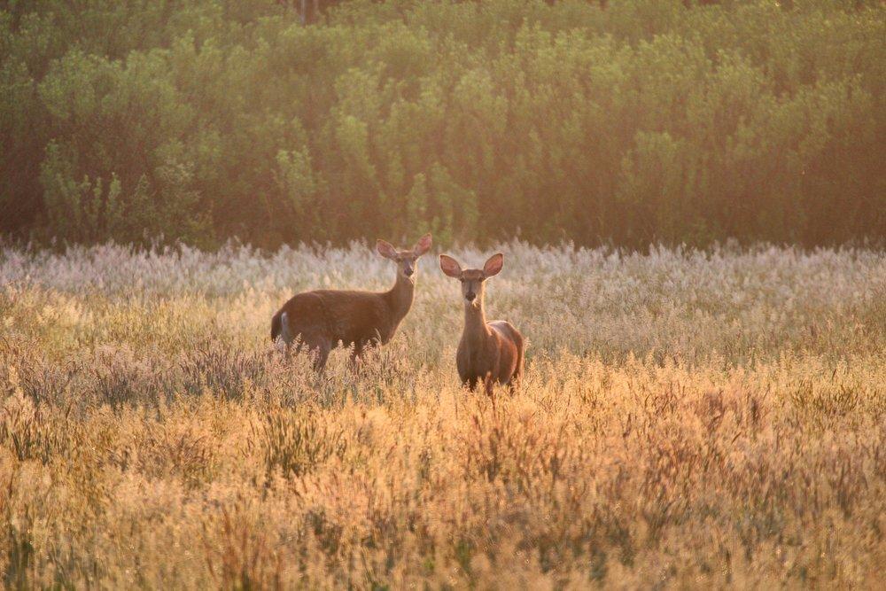 Deer @ Old Field
