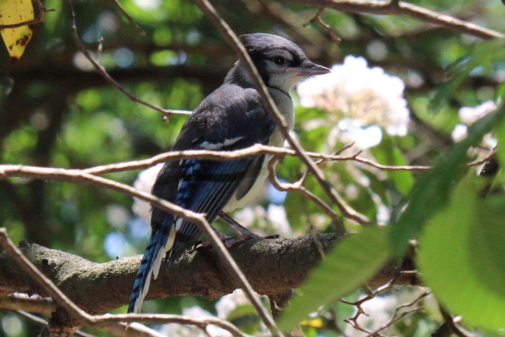 Blue Jay (Bailey Arboretum)