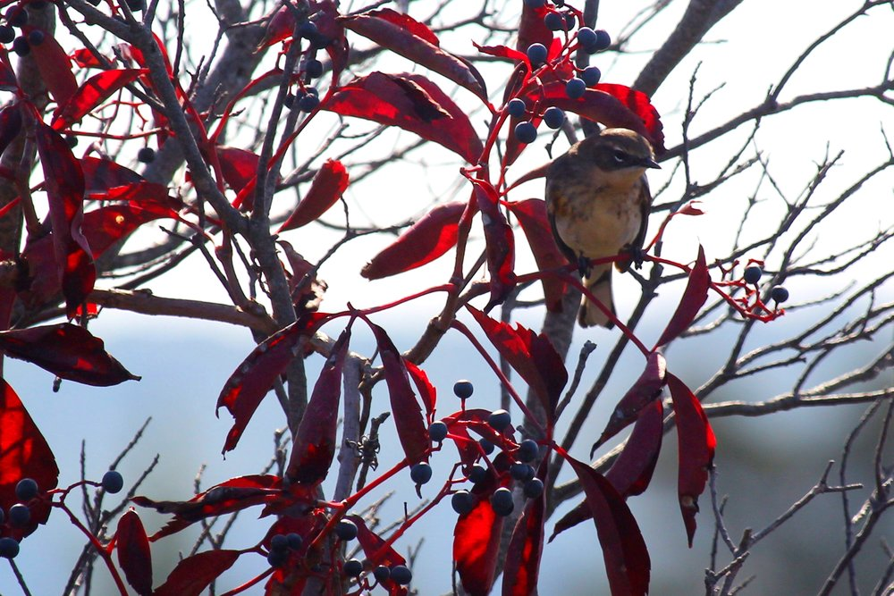 Bird + Red Leaves (McAllister County Park)
