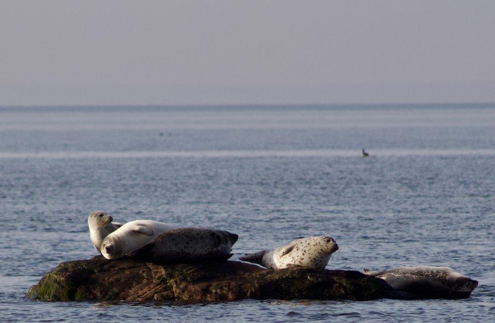 Harbor Seals (Duck Pond Point)