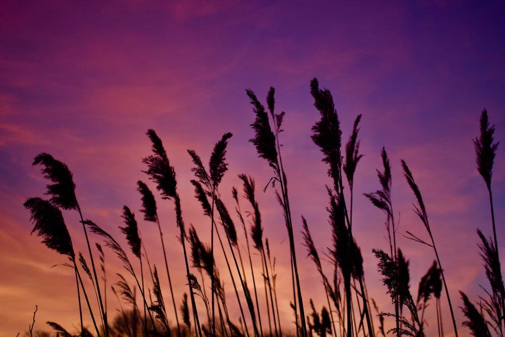 Phragmites @ Sunset (Iron Pier Beach)