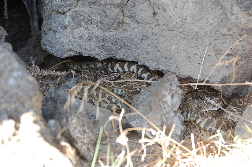 A rattlesnake den in Eastern WA state, full of rattlesnakes of all ages and sizes.