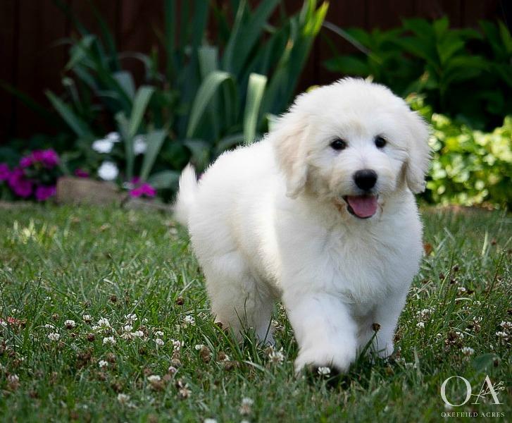 Okefeild Acres F1 Teddybear Goldendoodle Puppy