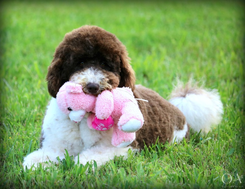 Ellsbeth's Nursery - Born: 9/20/18Meet Puppies 11/02/18Ready: 11/16/18Adult Weight: 30 - 40 lbsUTD: Vaccinations/De-wormingIncluded: Spay/Neuter/MicrochipParents: Meet Ellsbeth / Meet Berry