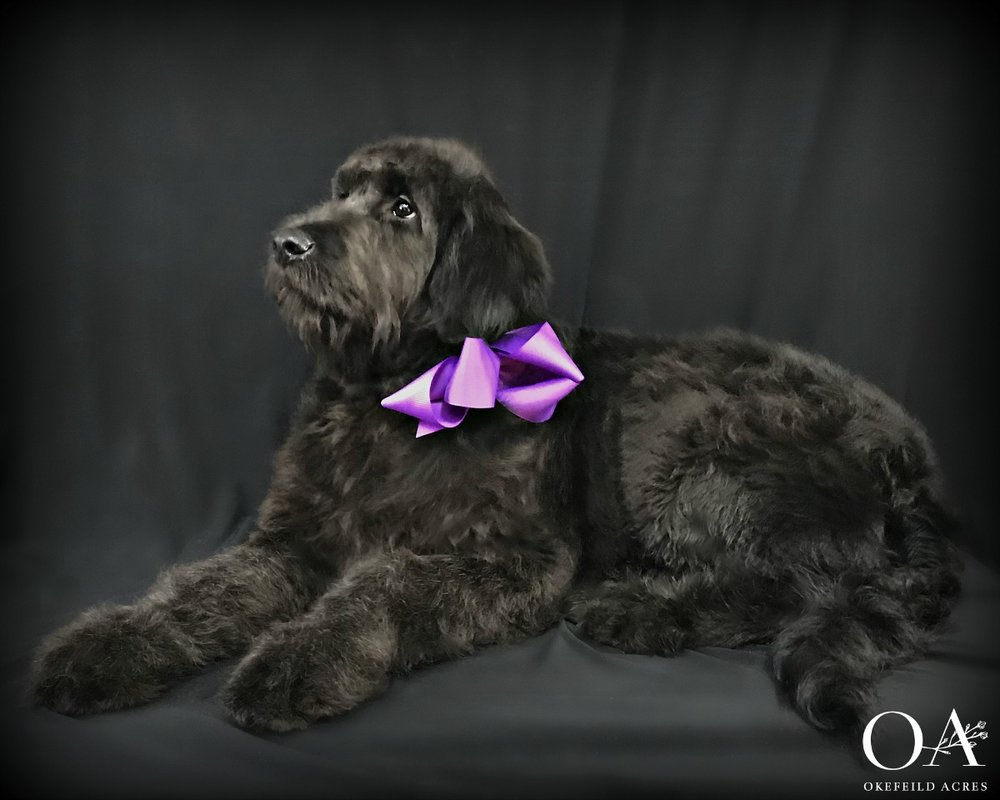 Meet Dixie! - F1 Teddybear Standard Goldendoodle8/26/18UABR RegisteredCoat Color - Black Turning SilverExpected Adult Weight - 65 lbsParents: Meet Deidra | Meet FinneganTemperament TestPuppy Kindergarten Included$2500This little angel is the perfect puppy for a family with small children or someone wanting a more laid back companion. A therapy prospect, Dixie is doing very well with her obedience work. She crates quietly, walks on the leash nicely, sits and downs on command and is a dream to groom. A lot of work has gone into this sweet girl, contact Janet to make this sweetheart a part of your home!